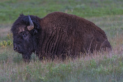 American Bison (GraceKW) Tags: bison