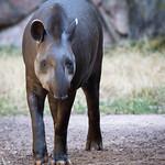 South American tapir thumbnail