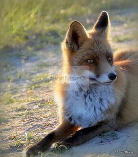 Portret of a fox at a lazy sunny sunday