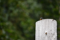 2018-09-10 Bird Watching 16 (s.kosoris) Tags: skosoris nikond3100 d3100 nikon bird birds nuthatch camp huronian
