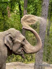 Aziatische olifant (Roelofs fotografie) Tags: wilfred roelofs fotgrafie nikon d5600 aziatische olifant 2018 burgerszoo zoo dieren dierentuin neterlands nature dutch dierenpark dier animals animal asian elephant zand sand
