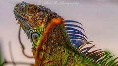 Reptile casting call for Jurassic World (The Happy Traveller) Tags: iguana nature naturalbeauty reptiles colorful