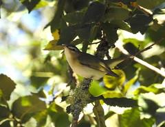 Red-eyed Vireo (rudeyard) Tags: redeyedvireo vireoolivaceus revi passeriformes
