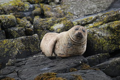 Chins - IMG_7281 (406highlander) Tags: commonseal seal phocavitulina dunvegan skye scotland lochdunvegan marine mammal animal sigma120400mmf4556apodgos harbourseal harborseal basking rock canoneos1300d
