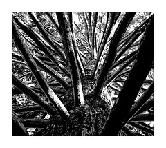2018-08-12 | untitled (clemisan) Tags: fortheloveofblackandwhite bw blackwhite tree nature abstract