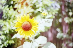 (xokphoto) Tags: sunflower southcarolina plant summer flower film minolta photography farming sunshine happy autumnbeauty growth nature earth summertime