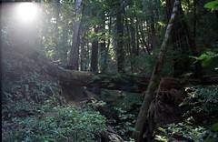 Scan-180919-0011 (alberthuynhphoto) Tags: big basin redwoods redwood state park 35mm fujifilm fuji superia 200 iso film nikon f3
