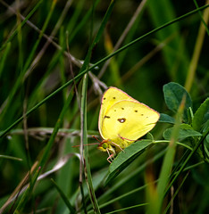 Ol' Green Eyes (Portraying Life, LLC) Tags: dbg6 da3004 hd14tc k1mkii michigan pentax ricoh unitedstates butterfly closecrop handheld nativelighting meadow cool deanroad