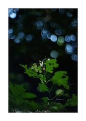 2018/8/24 - 8/12 photo by shin ikegami. - SONY ILCE‑7M2 / New Jupiter 3+ 1.5/50 L39/M (shin ikegami) Tags: sky 空 紫陽花 flower 花 井の頭公園 吉祥寺 summer 夏 sony ilce7m2 sonyilce7m2 a7ii 50mm lomography lomoartlens newjupiter3 tokyo sonycamera photo photographer 単焦点 iso800 ndfilter light shadow 自然 nature 玉ボケ bokeh depthoffield naturephotography art photography japan earth asia
