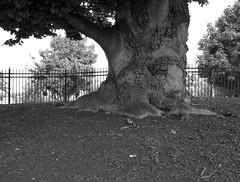 Kopffüßer / Cephalopod (bartholmy) Tags: hartford ct baum tree knorrig gnarly pareidolia pareidolie zaun fence mulch rindenmulch barkmulch rinde borke bark gestalt tier animal erscheinung apparition
