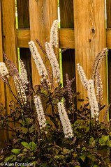 Black Negligee Bugbane 2018 (Al Fontaine) Tags: black negligee bugbane flowers flower gardens garden gardening green backyard webster ny