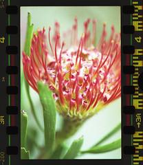 MacroFlower (Hf-Photo) Tags: macrofilm analogmacro filmphotographer filmshooters filmcommunity filmisalive filmisreal fuji flowers 35mm
