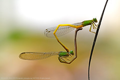 THE BALANCING ACT (GOPAN G. NAIR [ GOPS Creativ ]) Tags: gopsorg gopangnair gops gopsphotography gopan photography damselfly damselflies dragonfly mating mate acrobatics acrobats balancing