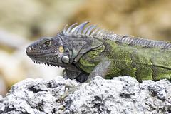 Iguana comune (Milo Manica) Tags: canon eos 60d florida nature tamron 70300 everglades iguana iguanaiguana rettile