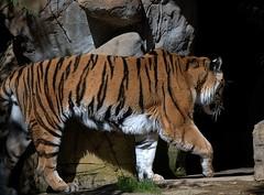Bengal Tiger (Scott 97006) Tags: tiger bengal animal zoo captivity wild stripes cat pussy