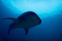 IMG_6889 (Gil Xavier) Tags: underwater scuba philippines canon fantasea g7xmk2 cebu moalbal turtlebay