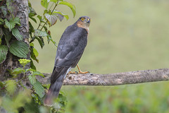 Sparrowhawk (Accipiter nisus) (phil winter) Tags: sparrowhawk accipiternisus adultmale birdofprey