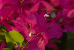 Bougainvillea (Steve4343) Tags: bougainvillea steve4343 nikon d70s trail forest red green blue yellow orange white clouds sky beautiful autumn beauty county lake cloud colorful woods garden gardens happy leaves rocks wildlife landscape mountain tree trees grass water wood summer spring macro flower flowers black northern thailand