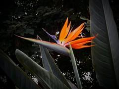 Bird of Paradise of Color! (jlynfriend) Tags: phonephoto lg flower macro birdofparadise color plant leaves afternoon park art