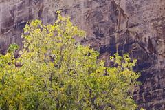 fall foliage and desert varnish (Jeff Mitton) Tags: fallfoliage fallcolors autumnfoliage autumncolors boxeldertree echopark dinosaurnationalmonument colorado sandstone steamboatrock echorock desertvarnish earthnaturelife wondersofnature