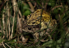 Asian Toad (Duttaphrynus melanostictus) in Amplexus (cowyeow) Tags: chinese hunan nature china asia asian macro wildlife frogs amphibian herp herps herping herpetology farm creek water pond asiantoad duttaphrynusmelanostictus toad duttaphrynus melanostictus toads calling grass amplexus mating sex