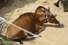 Chester Zoo Islands (136) (rs1979) Tags: chesterzoo zoo chester islands banteng