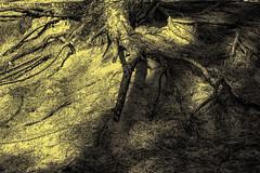 Roots (teltone) Tags: formby woods tree nature abstract earth roots canon aperture 5d autumn toning
