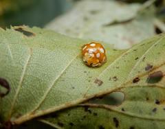Halyzia sedecimguttata (rockwolf) Tags: orangeladybird halyziasedecimguttata coccinellidae coccinelle coleoptera insect shawburyheath shropshire rockwolf
