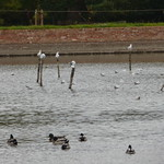 Lake at Packwood House from the Pool Tail Copse - gulls and ducks thumbnail