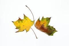 Autumn leaves (Arkle1) Tags: