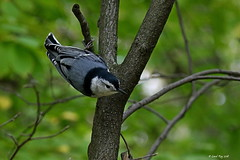 1.20494 Sittelle à poitrine blanche / Sitta carolinensis carolinensis / White-breasted Nuthatch (Laval Roy) Tags: québec aves birds oiseaux domainedemaizerets villedequébec sittelleàpoitrineblanche sittacarolinensiscarolinensis whitebreastednuthatch sittidés passeriformes canon noflashused lavalroy