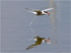 Common Tern (Paul West ( pwest.me )) Tags: commontern nature riverside countryside bird naturelovers wildlife wildlifepics macro wildlifepictures wildlifephotographer wildlifephotography naturephotography naturepictures naturephotographer birdphotography animal naturephotoportal poultonphotosoc photography wildlifeplanet intothewild wildlifeperfection naturephoto naturepics naturepic naturecollection natureseekers wildlifephotos animalsofinstagram animalphotos animalphotography