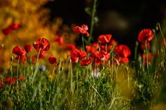 Poppies (Steve McCaul) Tags: beginnerdigitalphotographychallengewinner