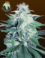 CB-Dream (Watcher1999) Tags: cbd strains medical cb dream cannabis marijuana california seeds growing strain plant weed weeds smoking ganja legalize it