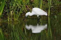 K32P7567c Little Egret, Lackford Lakes, September 2018 (bobchappell55) Tags: lackfordlakes suffolk bird wild nature wildlife water littleegret egrettagarzetta