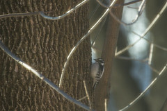 Female of a Downy woodpecker (jan.stefka) Tags: 2018 picoidespubescens downywoodpecker winter illinois canoneos7d strakapoudosikový ef100400 champaign