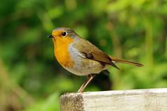 K32P5037c Robin, Leighton Moss, September 2018 (bobchappell55) Tags: wild nature wildlife rspbleightonmoss lancashire bird robin erithacusrubecula