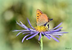 A Pretty Resting Place (Eleanor (No multiple invites please)) Tags: smallcopperbutterfly blueflower daisy busheyrosegarden bushey uk nikond7200 105mmmacrolens september2018