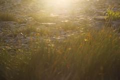 (decemberGirl.) Tags: grass sunlight goldenhour spidersilk 50mm