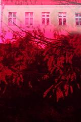pink (Binacat) Tags: canon eos 750d digital color colorful berlin friedrichshain autumn leaves tree filter plexiglas baum blätter farbenfroh herbst dreamy verträumt pink