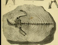 This image is taken from On the fossil remains of reptiles, and on chelonian foot-tracks, from the Devonian strata of Morayshire (Medical Heritage Library, Inc.) Tags: fossils reptiles rcseng ukmhl medicalheritagelibrary europeanlibraries date1852 idb22350639