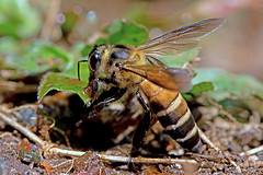 Apis dorsata - the Giant Honey Bee (BugsAlive) Tags: butterfly mariposa papillon farfalla schmetterling 蝴蝶 бабочка conbướm ผีเสื้อ animal outdoor insects insect hymenoptera macro nature apidae apisdorsata gianthoneybee apinae wildlife lamnamkoknp chiangrai liveinsects thailand bugsalive