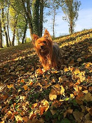 My dogs like autumn. They like to walk around and crack the dead leaves when the heat has given way to the softness of a sun lower in the sky. #dog #dogphotography #mydog #mountainbernese  #yorkshire  #automne #autumn #bouvierbernois #walk #october #berno (cordier38) Tags: dog dogphotography mydog mountainbernese yorkshire automne autumn bouvierbernois walk october bernois