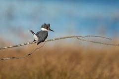 Belted Kingfisher-48503.jpg (Mully410 * Images) Tags: burnettcounty kingfisher birding crexmeadowsstatewildlifearea crexmeadows birds wisconsin bird birdwatching beltedkingfisher
