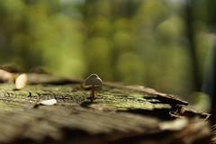 Paddenstoeltje (Schagie) Tags: fungi paddenstoel mushroom bos woods forest bokeh licht light natuur nature herfst fall mooi beauty vrucht fruit