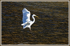 Aigrette 181020-02-P (paul.vetter) Tags: oiseau ornithologie ornithology faune animal bird échassier grandeaigrette aigrette ardeaalba greategret silberreiher casmerodiusalbus garçabrancagrande