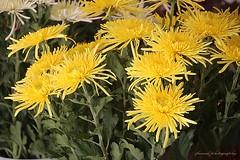 Flowers in Abano Terme, Italy (jackfre 2) Tags: abanoterme italy vacation fall autumn flowers