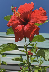 Hibiscus (AndyS03) Tags: hibiscus red blue iphone iphonexs
