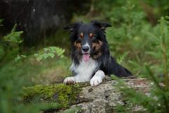 in forrest (Flemming Andersen) Tags: yatzy dog bordercollie outdoor outdoornature nature harrildhede animal brande centraldenmarkregion denmark dk