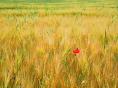 Field of grain (Yirka51) Tags: weed spike rye redweed poppy plant landscape knapweed grain flora field environment ear corn cereal